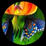 butterflys-round